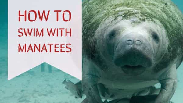 how-to-swim-with-manatees