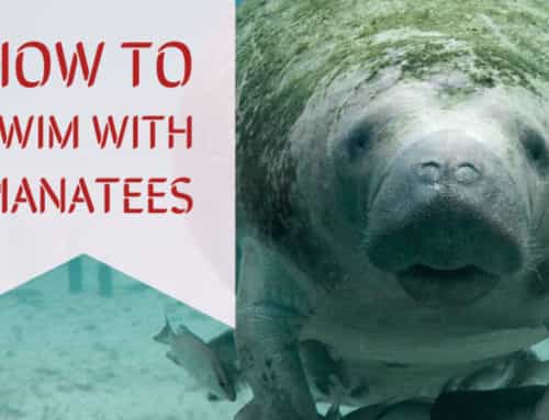 How to Swim with Manatees in Florida